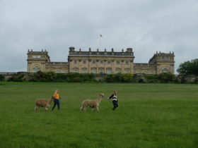 Harewood_House_AlpacaWalking