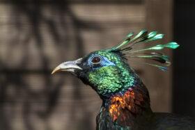 Harewood's Himalayan Birds Twilight Tour
